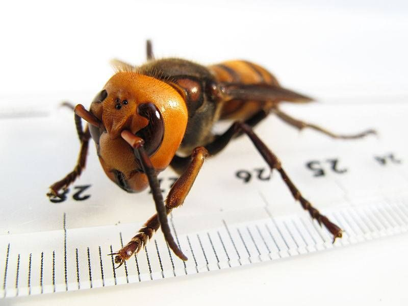The Asian Hornet Is Approximately The Size Of A Thumb Its