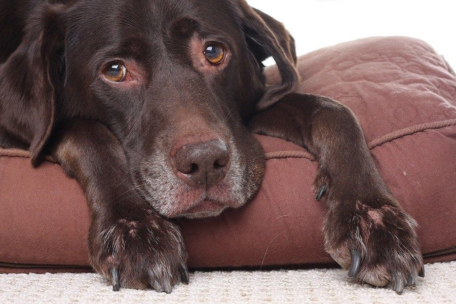 When Is It Time To Euthanize Part 1 Dog Behavior Dog Hives Senior Dog