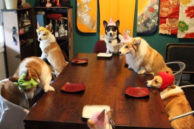 Resultado de imagen para dinner corgi