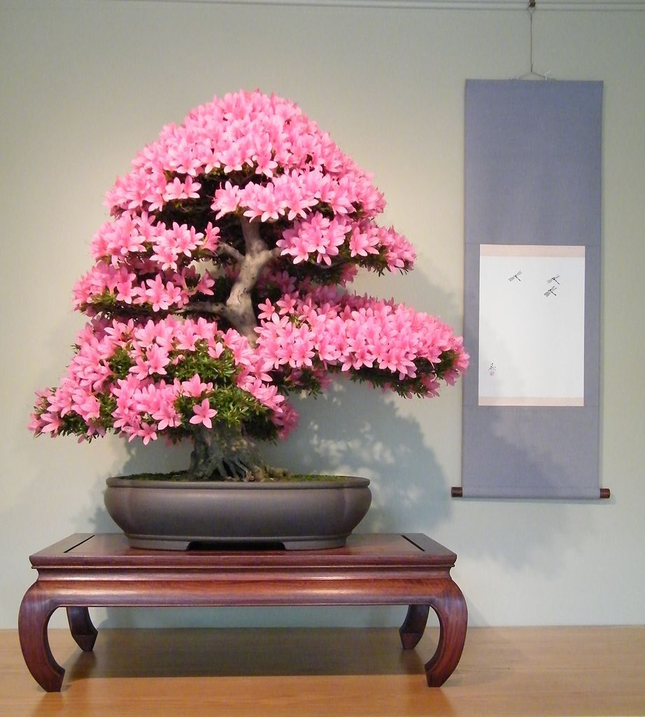 Preserved cypress bonsai 7 h contemporary phoenix by botanical - Satsuki Azalea On Special Exhibition At The National Bonsai Penjing Museum It Is In