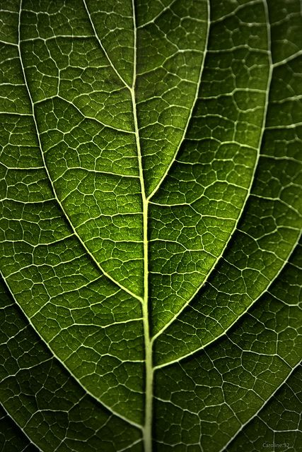Hydrangea Leaf In 2020 Patterns In Nature Leaves Natural World