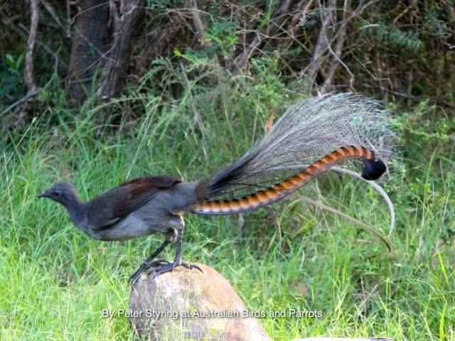 how to find the lyrebird