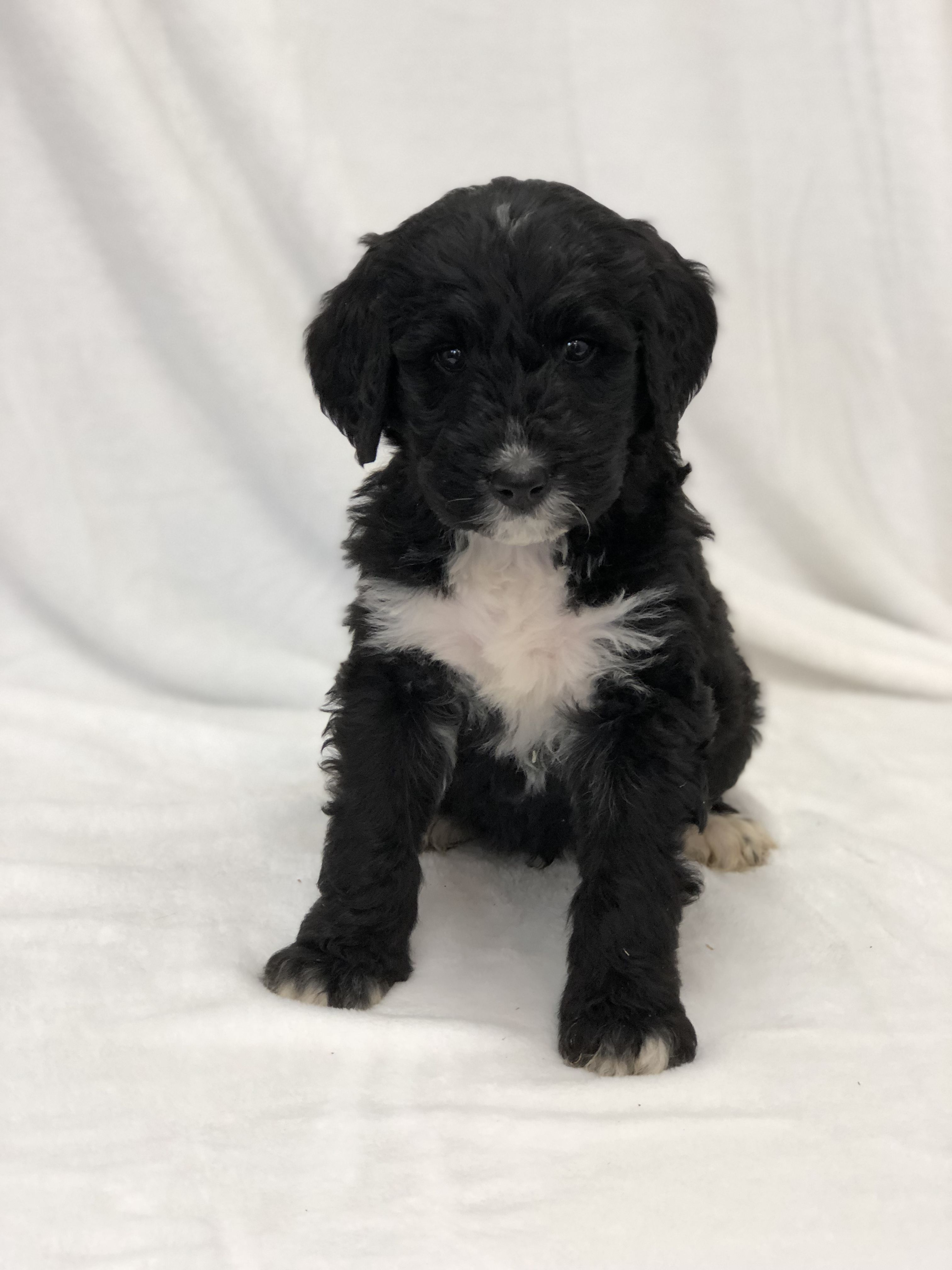 Sophie A Female Bernedoodle Puppy In West Alexandria Ohio Find Cute Bernedoodle Puppies And Responsible Bernedo Puppies For Sale Bichon Frise Puppy Puppies