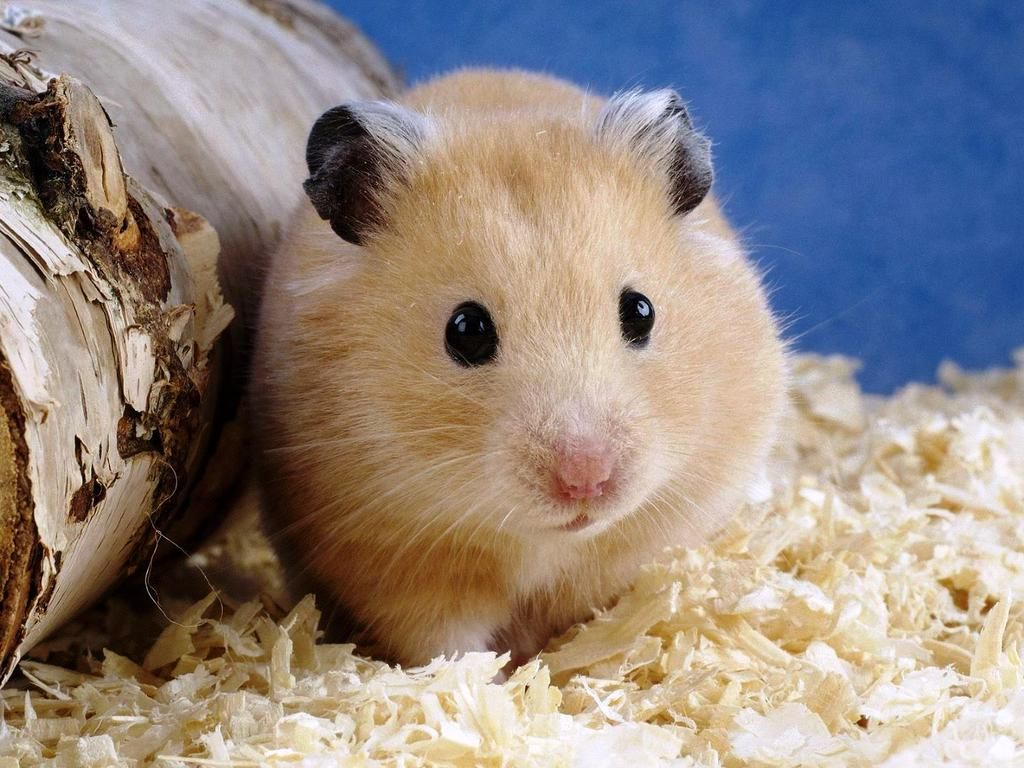 Avisa Venezuela On Twitter Hamster Pics Hamster Care Cute Hamsters