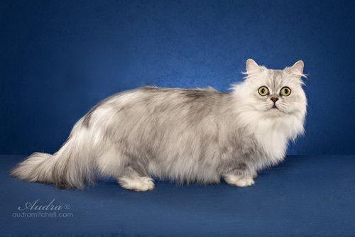 Minuet Longhair Cat Breed Napoleon Longhair Cat Napoleon Cat Cat Breeds Rare Cats