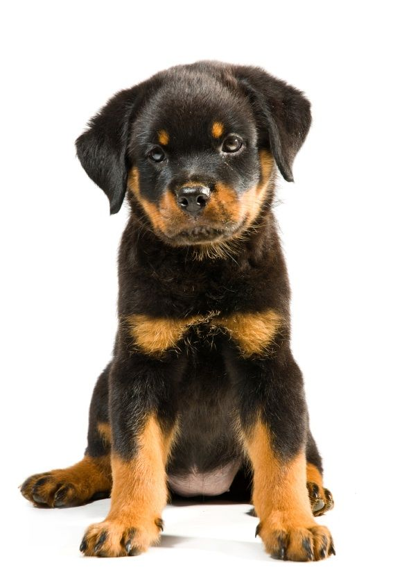 Rotweiller Puppy Causes Of Hair Loss In Dogs And What To Do About