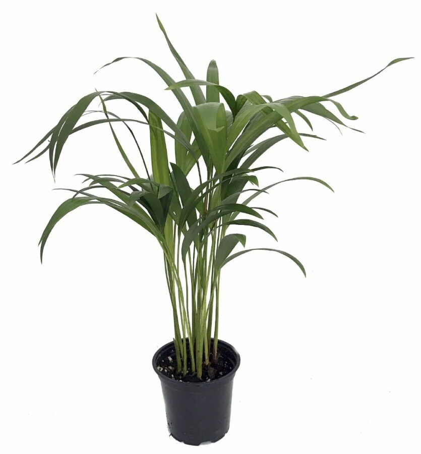 The Areca Palm In 2020 Easy House Plants House Plants