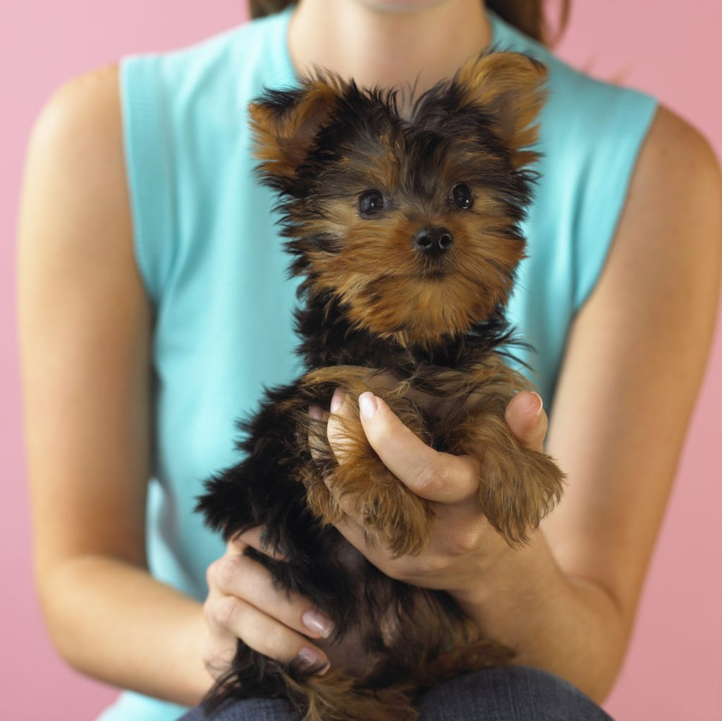 How To Give A Yorkie Girl A Haircut Cuteness Yorkie Addiction