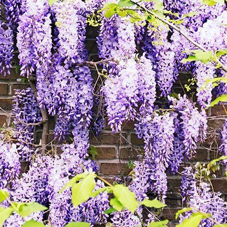 Giant Lavender Flowers Huge Full Purple Flowers Up To