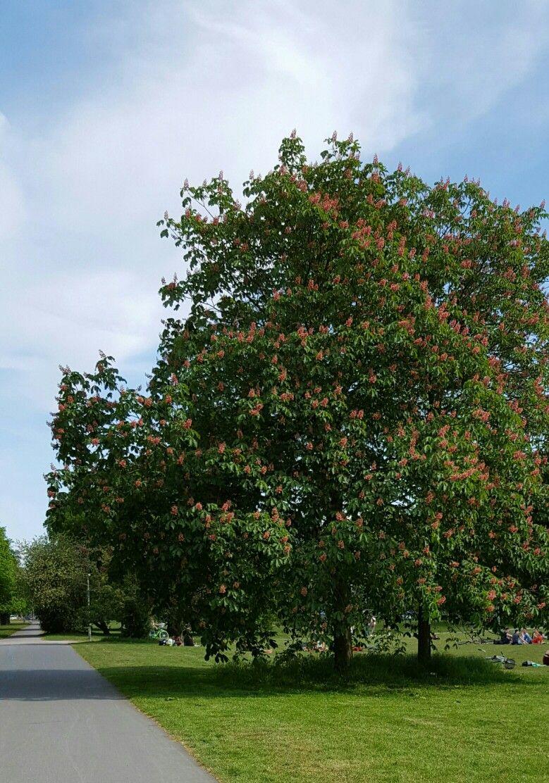 Kastanienbaum Bäume und Sträucher