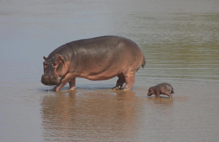 Midget hippo thialand