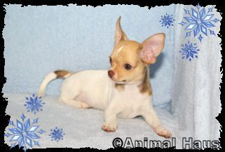 Animal Haus Chihuahuas With Images Chihuahua Puppies