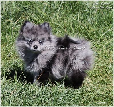 Ckc Registered Blue Merle Female Pomeranian Puppy Blue In One Eye Pomeranian Puppy Pomeranian Dog Puppies