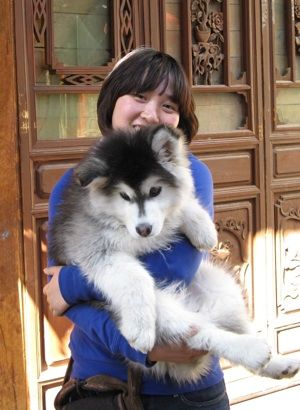 Alaskan Malamute Puppy At 3 Months Old Love How Massive And