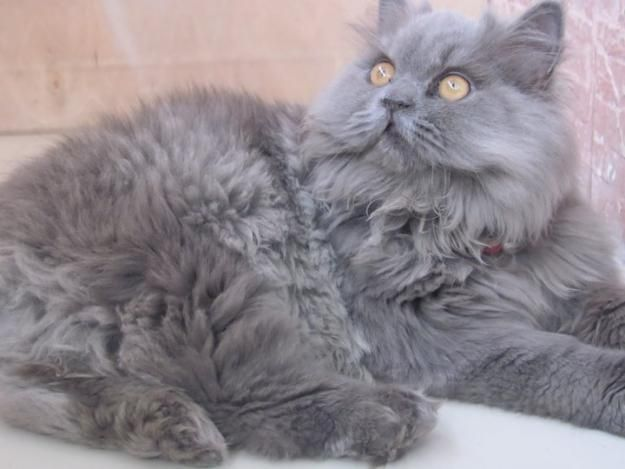 Looks Just Like My Mr Delicious Aka Mr D Gorgeous Grey Blue Persian Cat Looks Like Blue And Gentle Looked Persian Cat Cats Crazy Cats