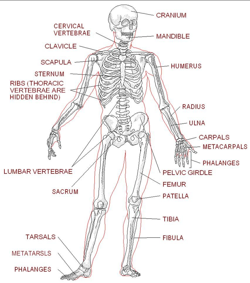 Worksheets For Anatomy Google Search Human Skeleton Anatomy Human Skeleton Labeled Skeletal System