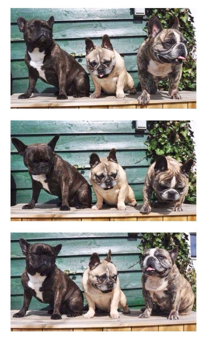 Kipa Basco En Doortje A Trilogy Of French Bulldogs