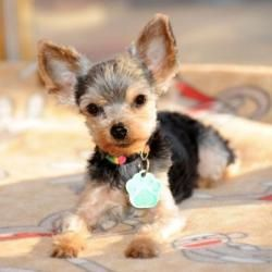 Adopt Beemer On Yorkie Dogs Yorkshire Terrier Dog Yorkie