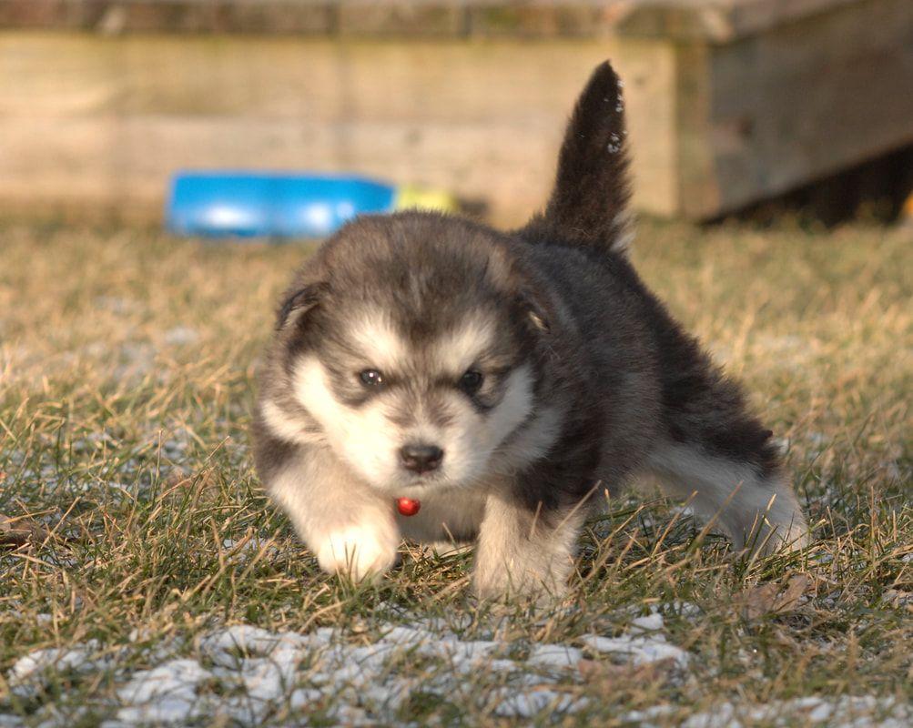 Siberian Husky Names For Unique Male Female Huskies Siberian Husky Names Siberian Husky Puppy Pictures
