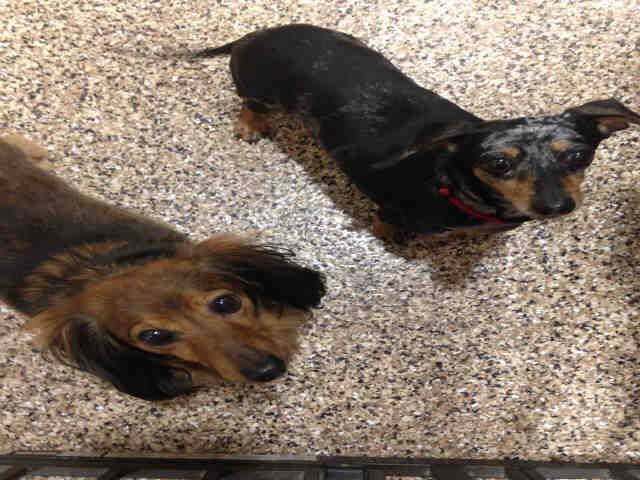 Dachshund dog for Adoption in Frisco, CO. ADN754197 on