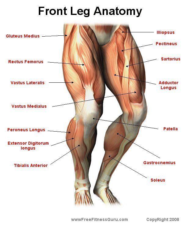 Front leg anatomy missfitgear vjezbanje pinterest leg anatomy front leg anatomy missfitgear ccuart Gallery
