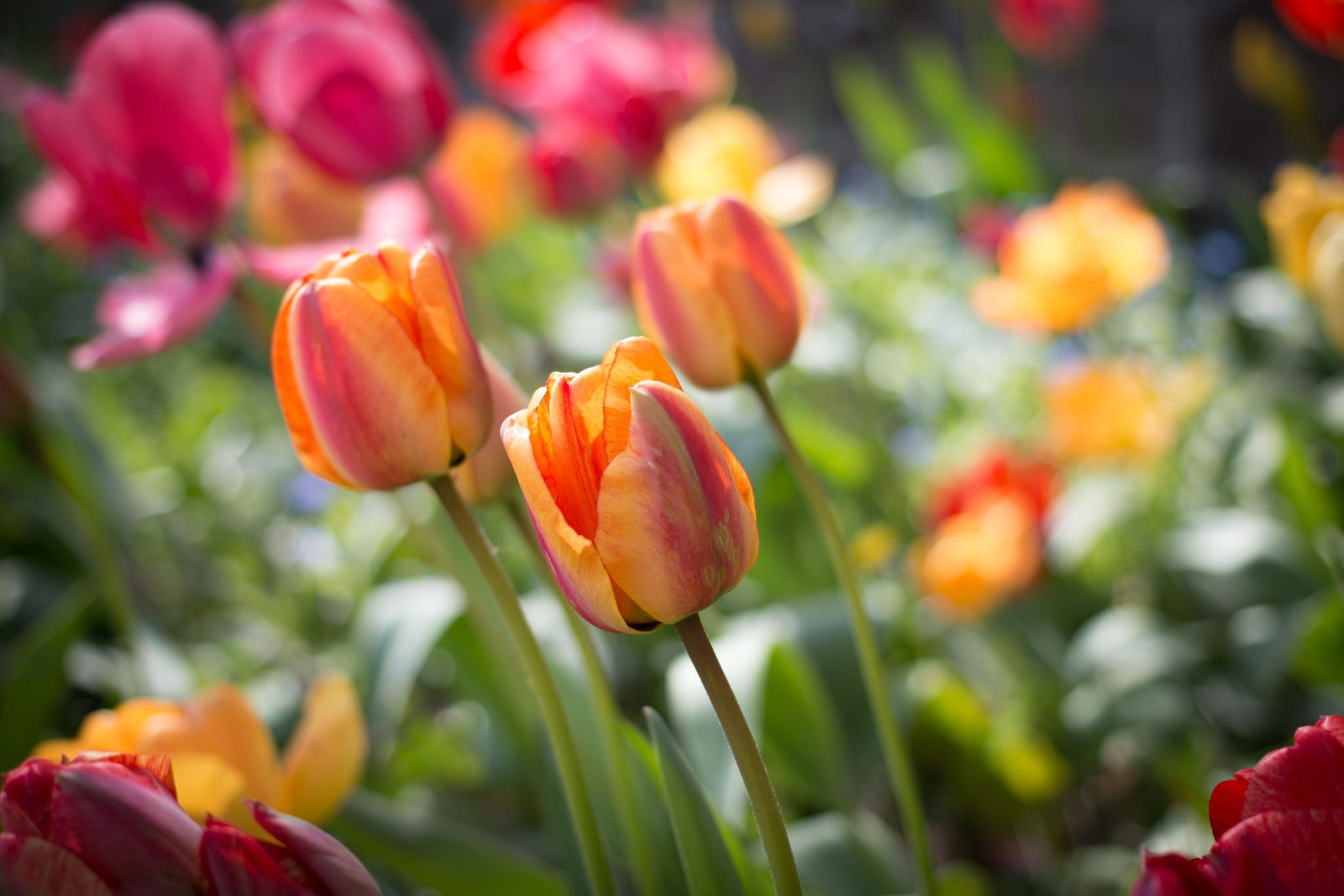 Tulips by Jill Harrison / 500px Tulips, Plant pictures