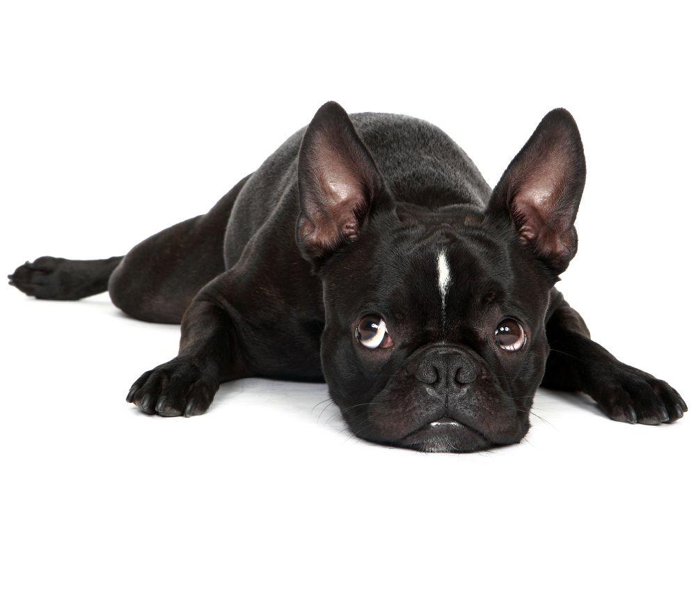 Puppy Health Screw Tails And Hemivertebrae The Happy Puppy Site Cute French Bulldog French Bulldog Bulldog