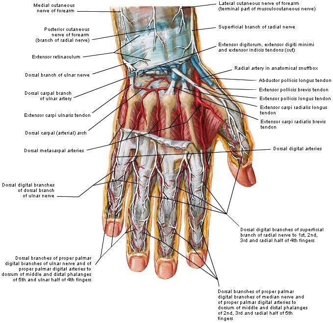 spieren arm hand - Google zoeken | My design hand | Pinterest ...
