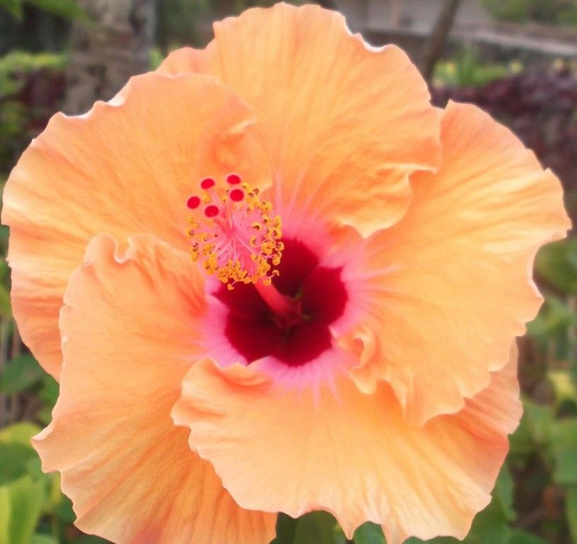 Orange, peach Hibiscus at the Polynesian Cultural Center on the island of Oahu.