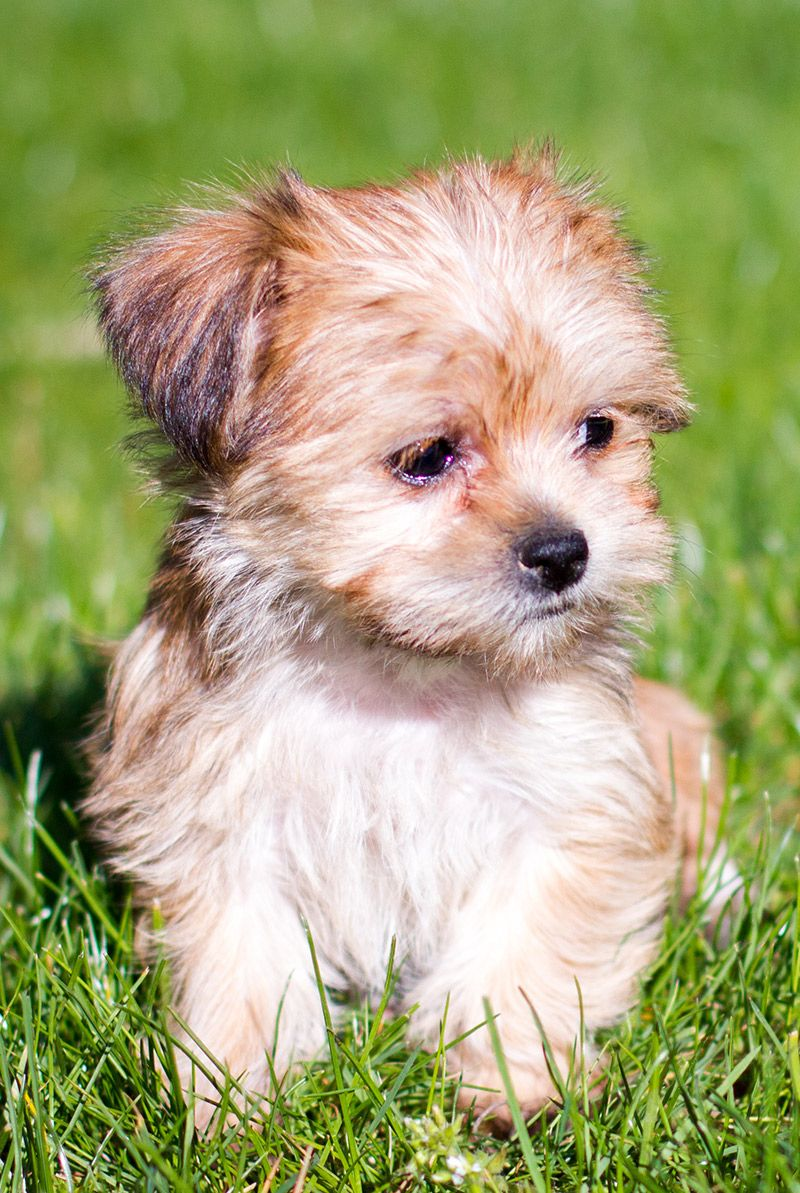 Is The Shih Tzu Yorkshire Terrier Mix