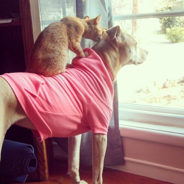 BULLYback ride!!! Here are Yam and Layla keeping watch over the neighborhood! Thanks to @lovabulljordan for the pic, we hope Layla is enjoying her new #Neon #Pink #OriginalBully #dog #Hoodie ! #dog #cat #pets #bff #besties #love #family #ogbully #dontbullymybreed #picoftheday #inbullywetrust