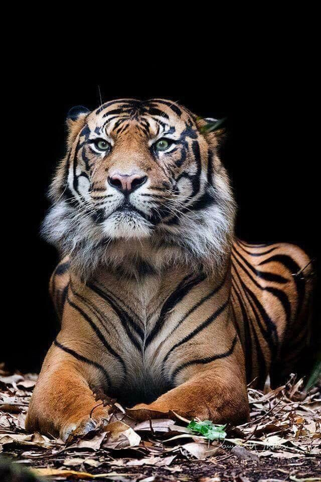 Beautiful Animal With Images Sumatran Tiger Animals Animals