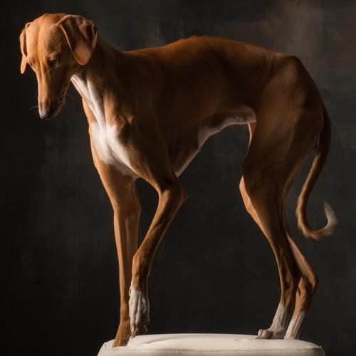 Tall And Elegant The Azawakh Is A West African Sighthound Who