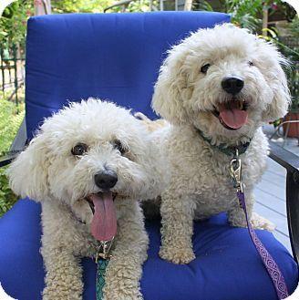 New Jersey Nj Bichon Frise Meet Brick Nj Brody Dog