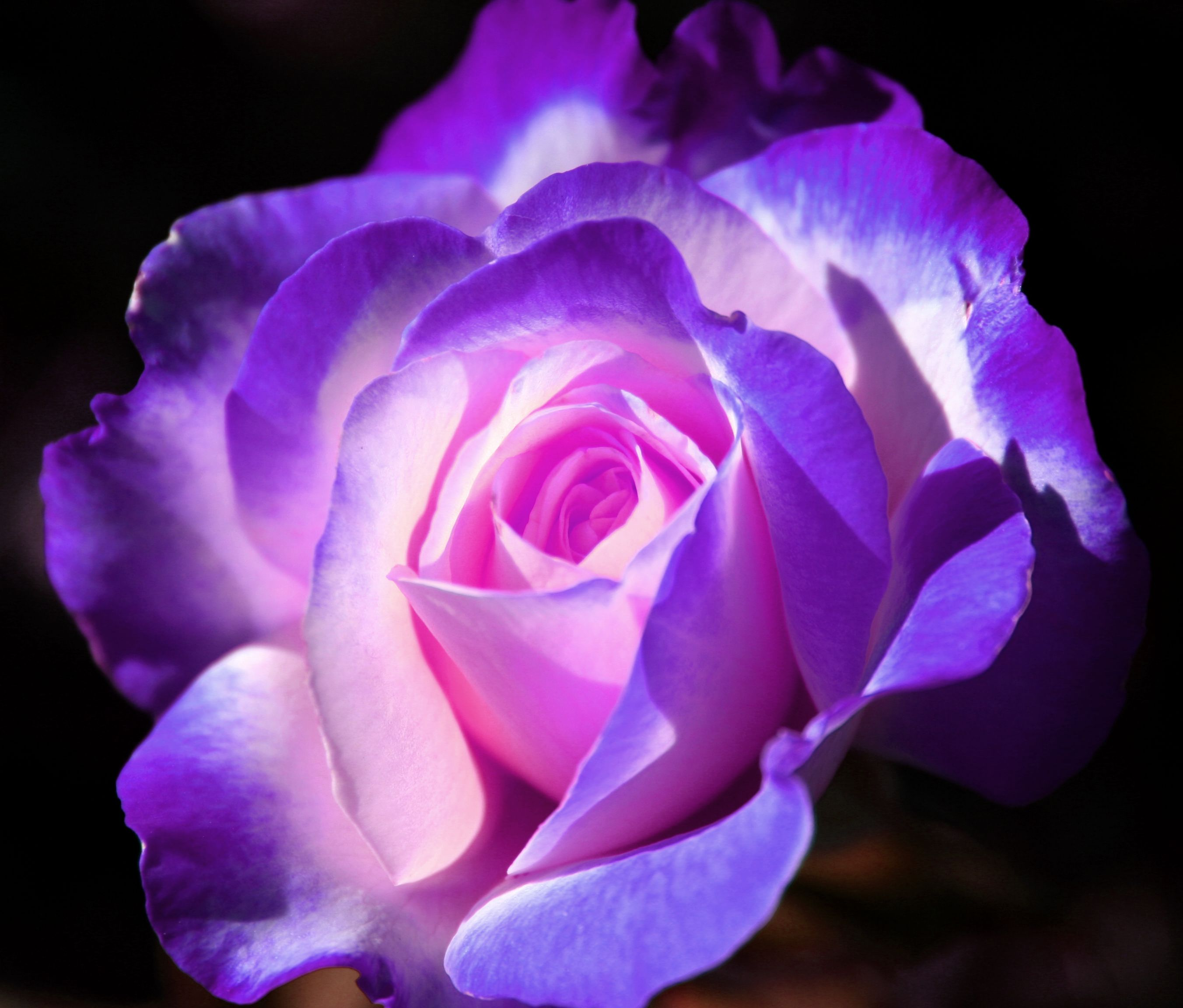How To Breed Your Own Purple Roses | Brands-list.com | Roses ...