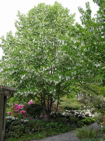 davidii involucrata (dove tree)- native to southern china.   Want in my back yard