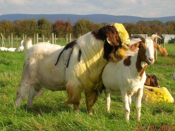Good goat farm names? | Yahoo Answers