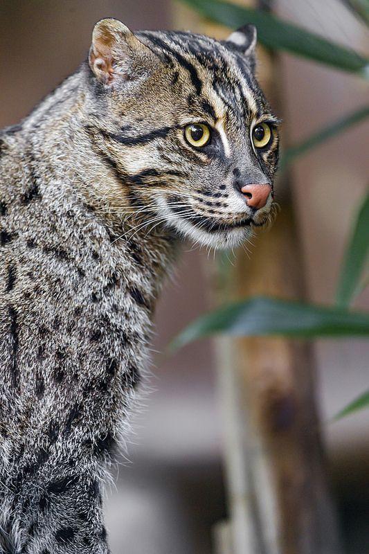 Pretty Fishing Cat Wild Cat Species Small Wild Cats Cats