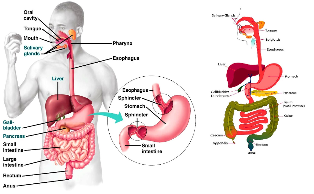 Downloadable Diagrams Of The Digestive System Presearch Digestive System Diagram Human Digestive System Digestive System