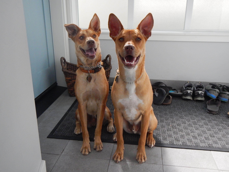 условия содержания собаки породы хахо-аву