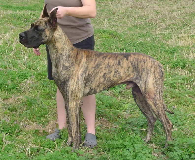 Brindle Great Dane Brindle Great Dane Great Dane Colors