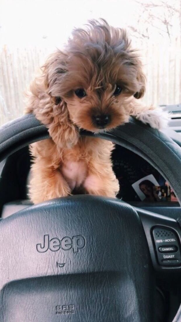 Jeep Dog Cute Explore Follow Shorthairstyles Car With