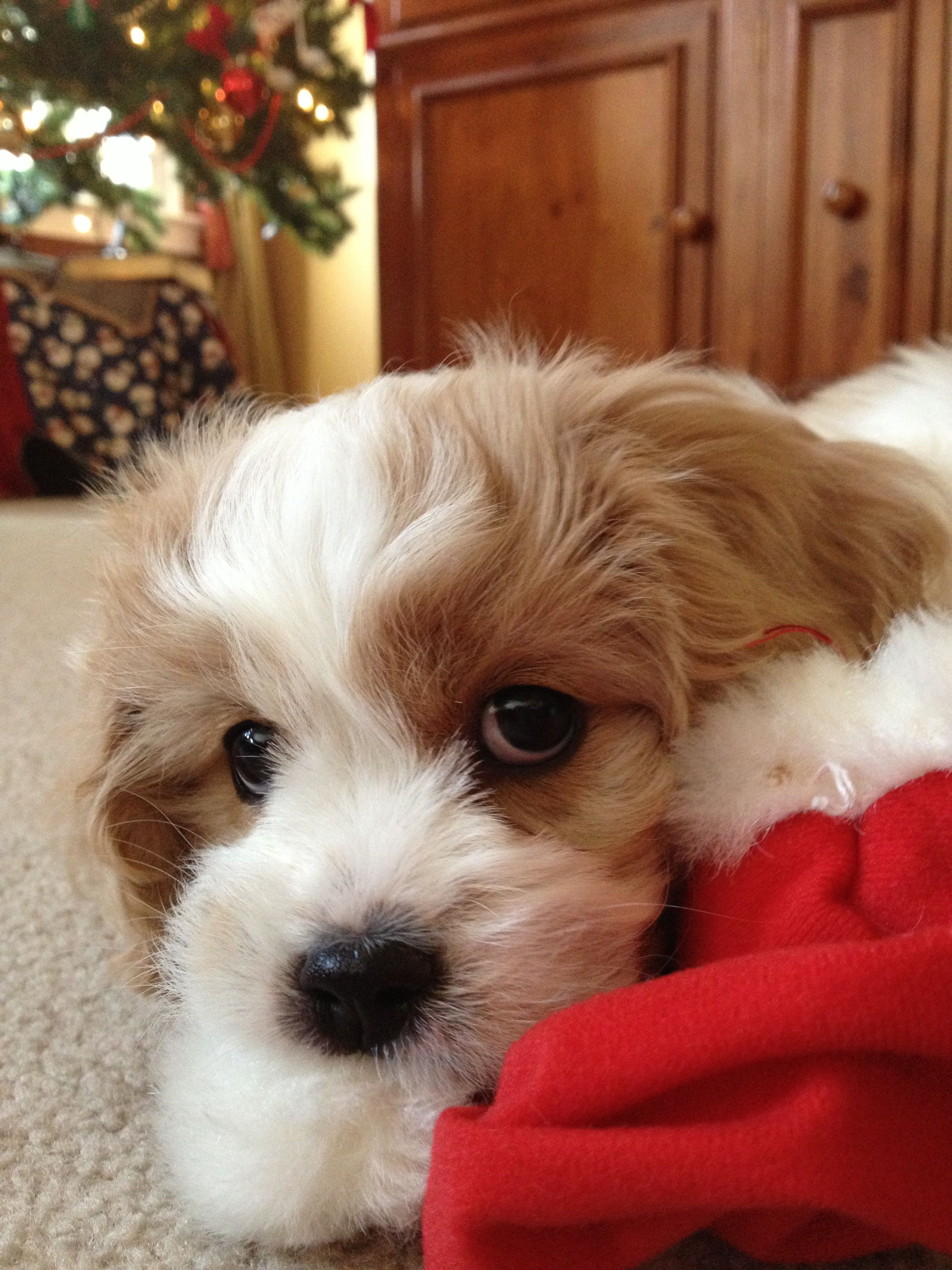 Cavachon Cavachon puppies, Cavachon, Cute dogs