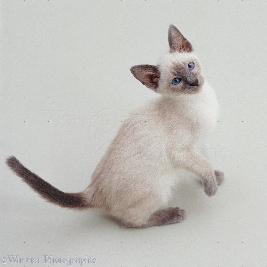 Different Type of Cats | Siamese kittens, Siamese and Cat