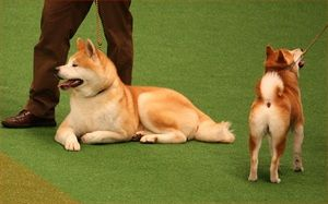 Akita Breed Profile Origin Japan Colors Any Size Large Type