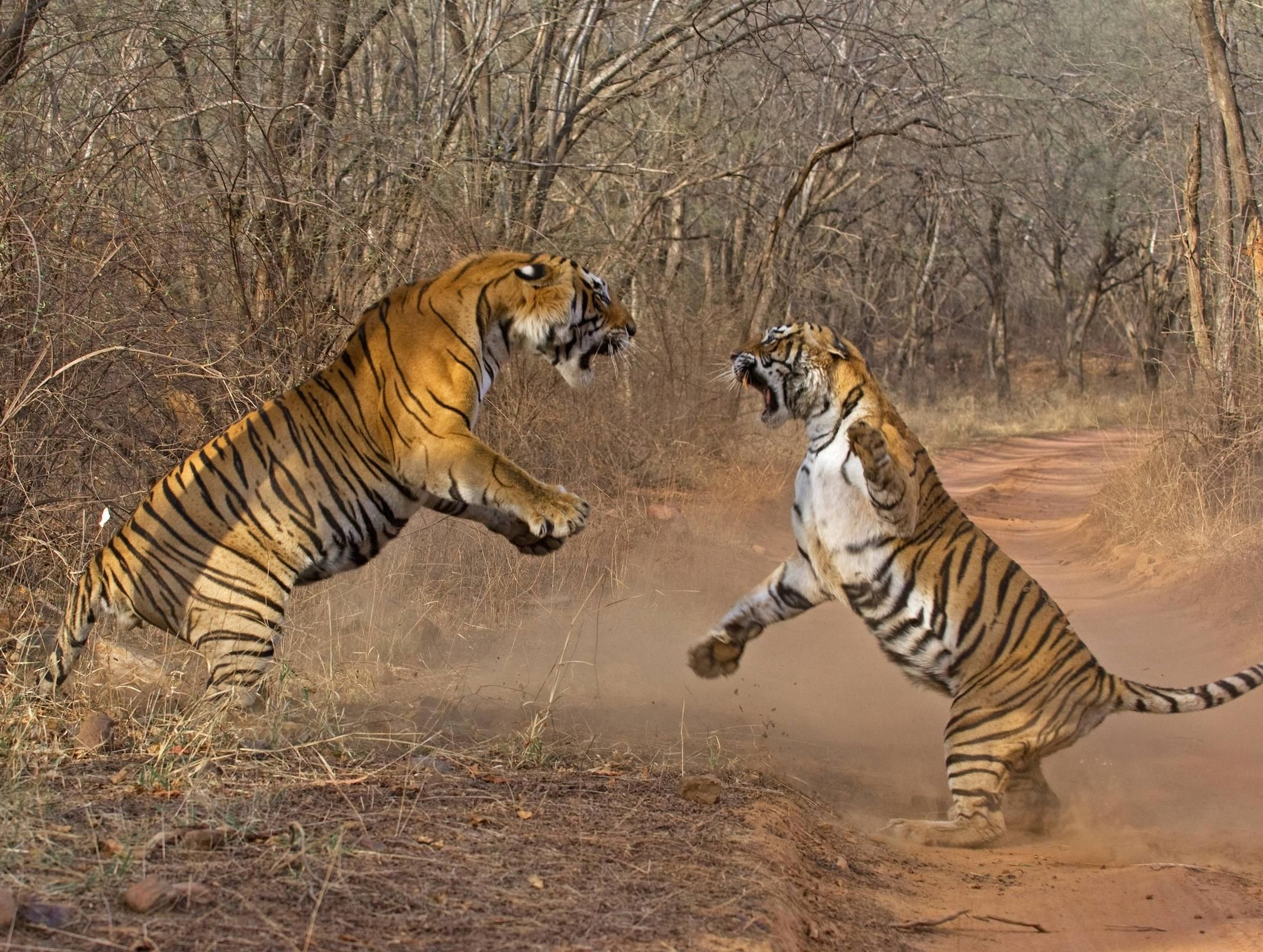 tiger fight Google Search Fight tiger, Big cats, Tiger