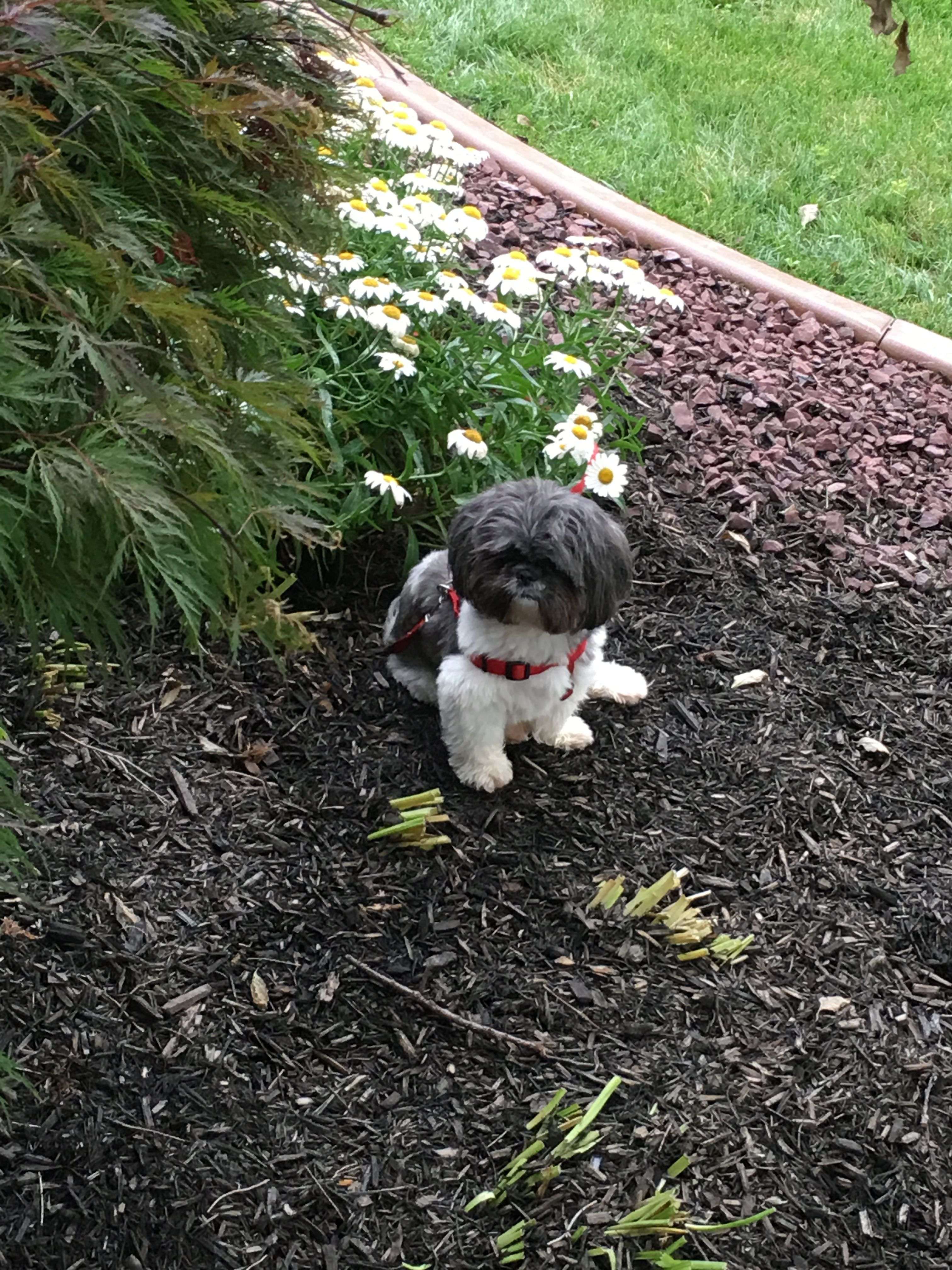 Louie has the whole yard but sits in the flower bed