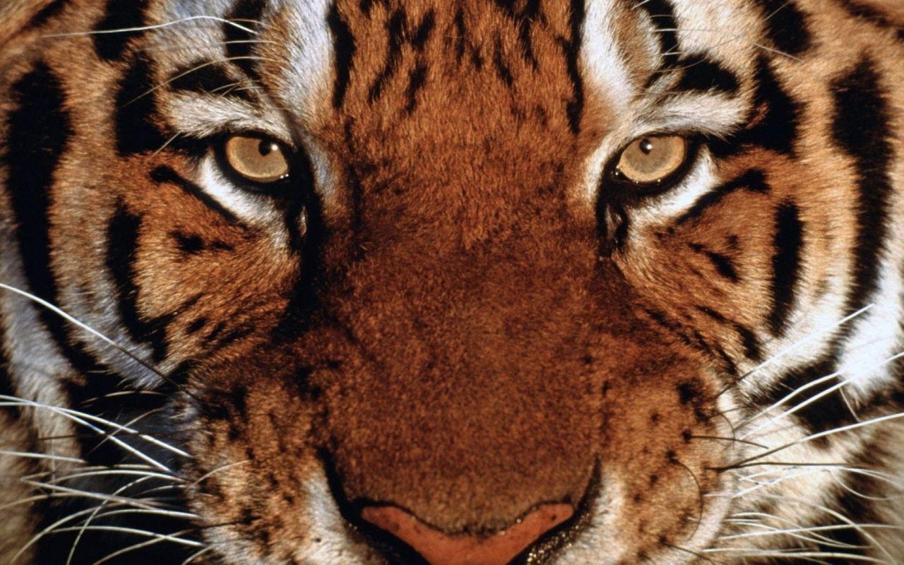 Tiger Hd Desktop Wallpaper Widescreen Fullscreen 1280 800 Tigers