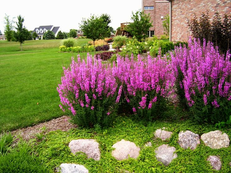 Krwawnica Rote Hybriden Na Letnie Rabaty Outdoor Plants Garden Landscape Design Flower Planters