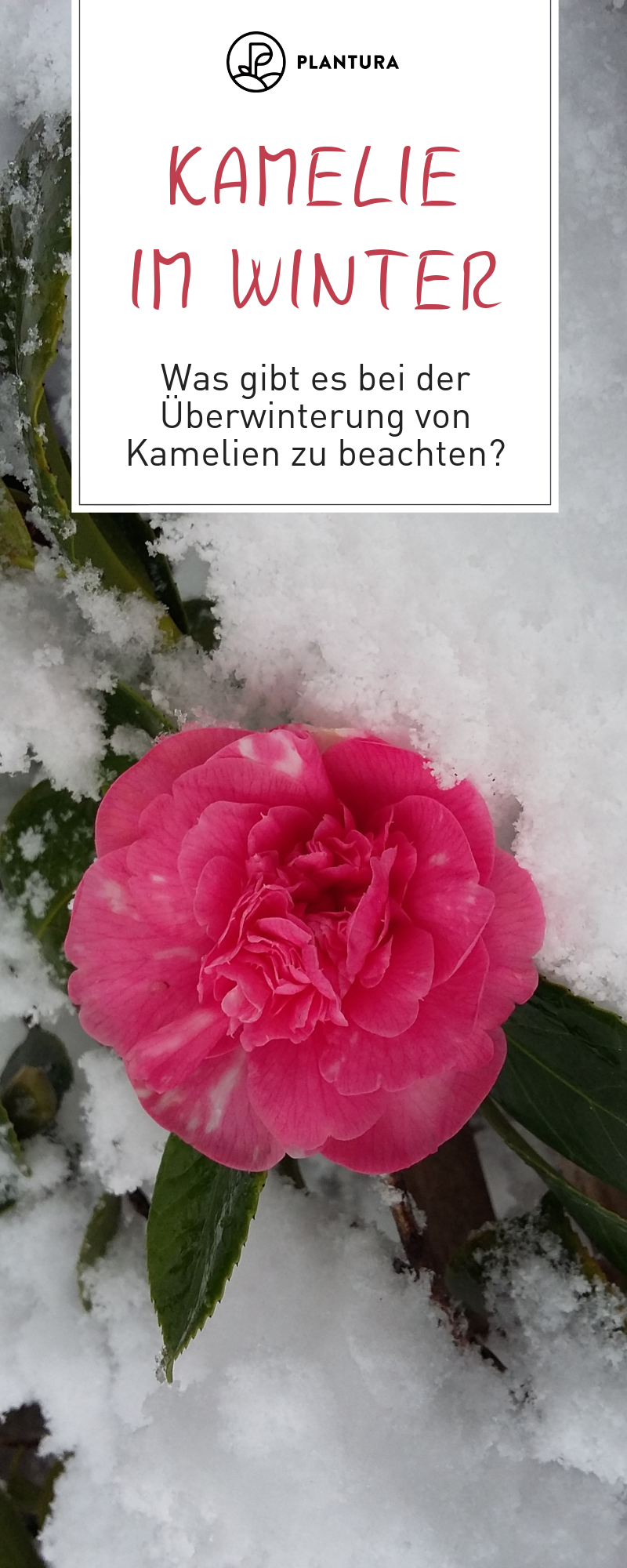 Kamelien Im Winter Kamelien Werden Auch Die Rosen Des Winters Genannt Und Sorgen Im Winter Fur Farbe Im Gewachshaus Oder Im Wi Winterhart Winter Uberwintern